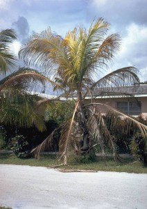 Palm tree dying of lethal yellowing. By USDA Forest Service - This image is Image Number 1504007 at Forestry Images.